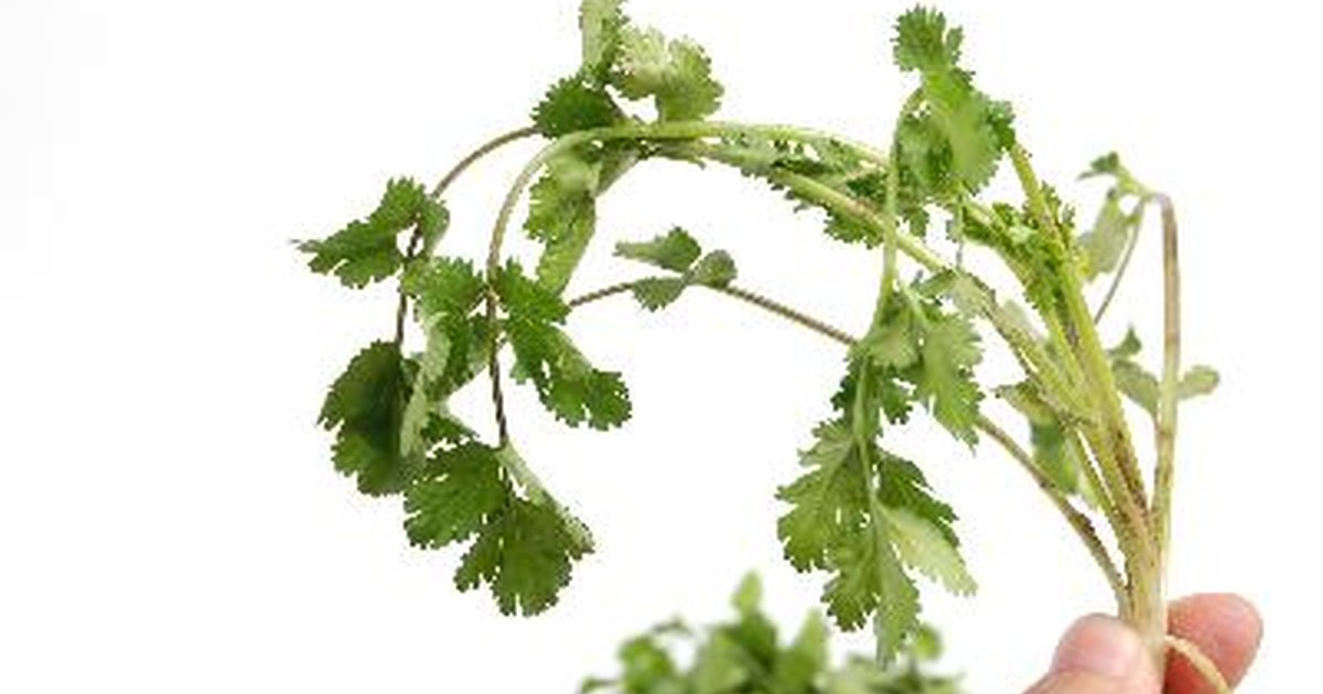 What causes allergies to cilantro livestrong com