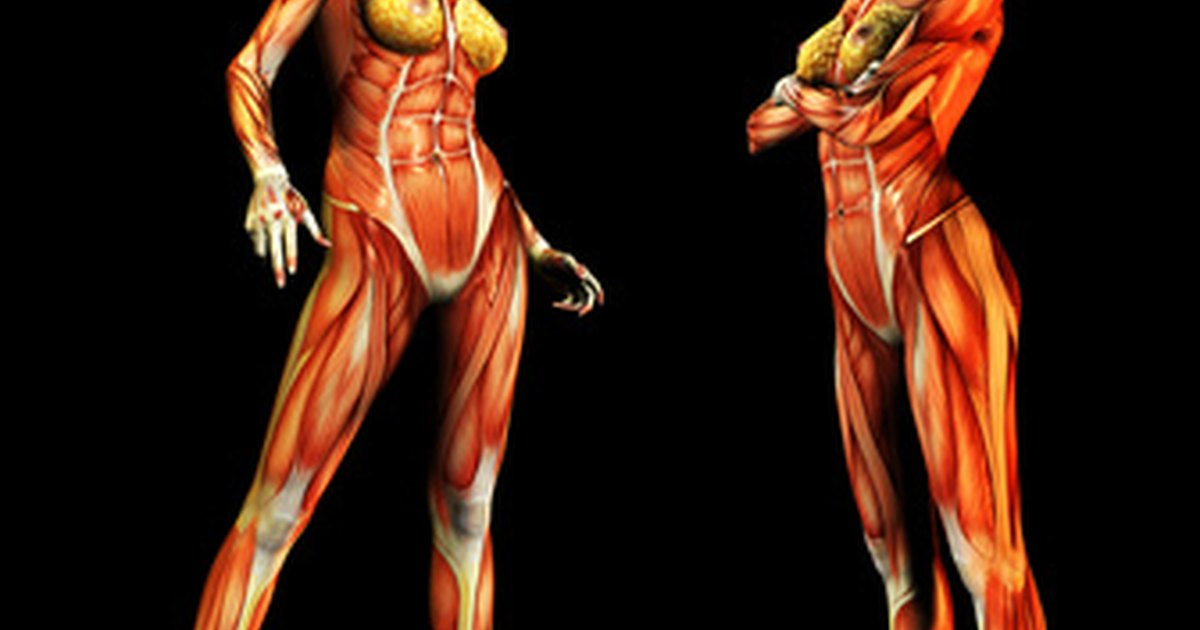 what organs make up the muscular system? | livestrong, Human Body