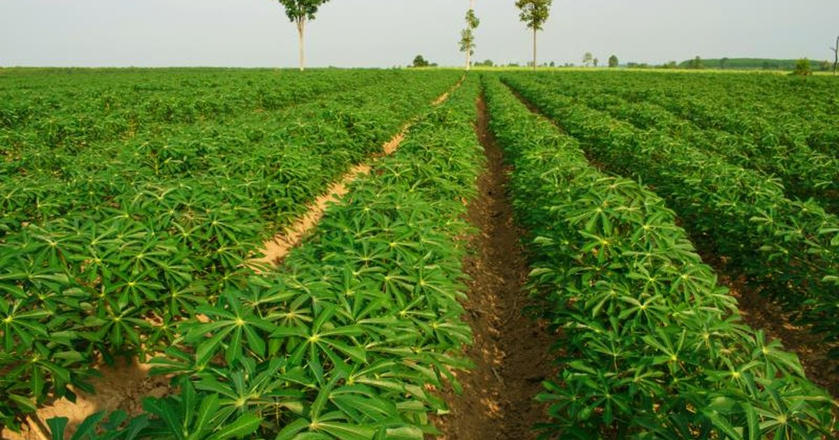 Cassava farming business plan