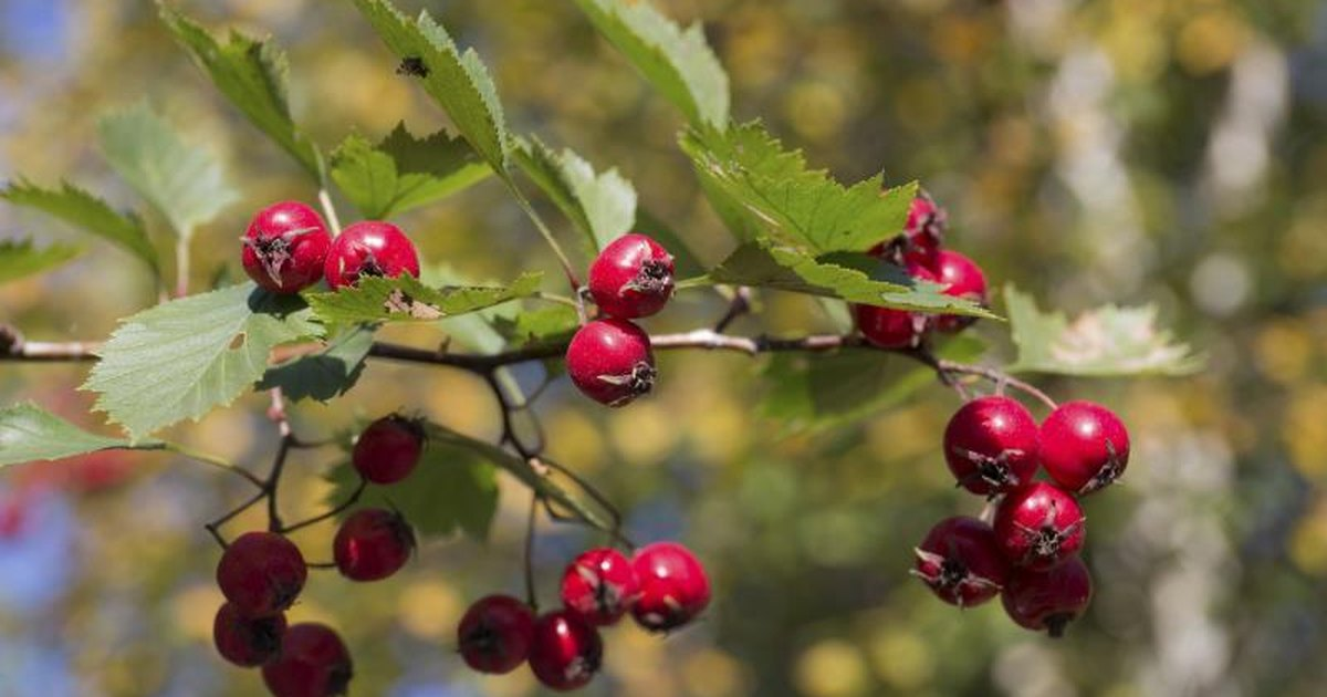 Hawthorn berry and blood pressure