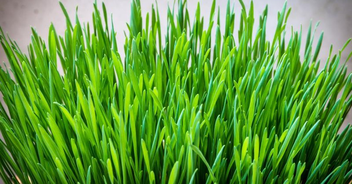 Picture of barley grass