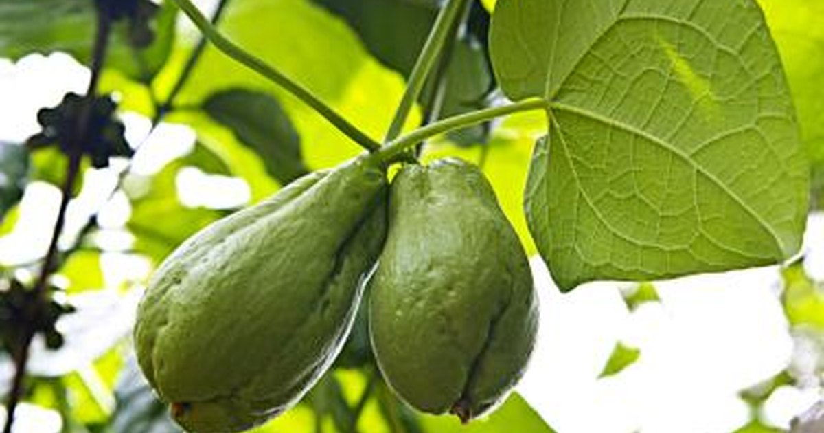 nutritional value and health benefits of chayote squash