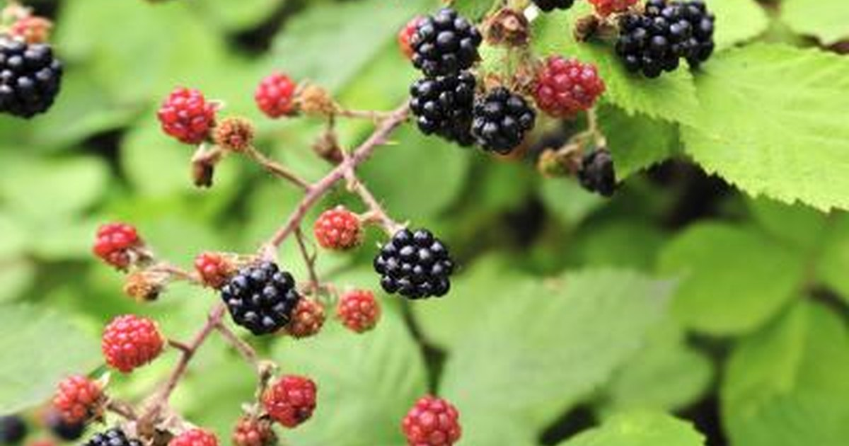 What Are the Benefits of Blackberries? | LIVESTRONG.COM  What Are the Be...