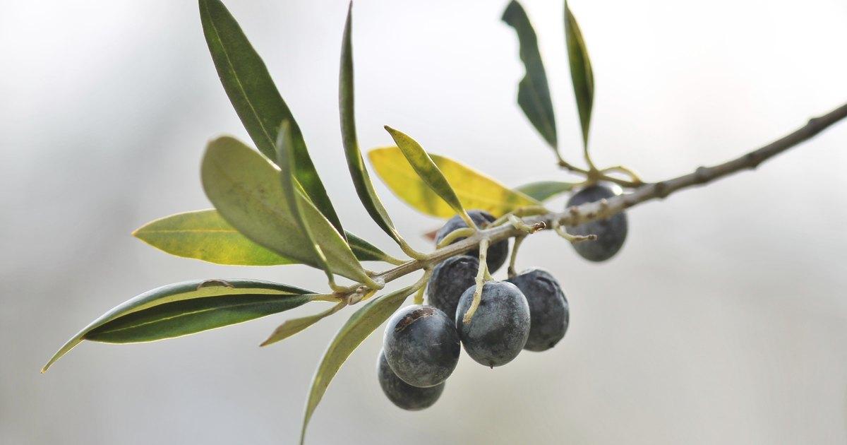 Olive leaf skin