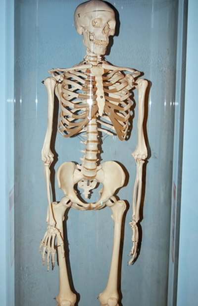 What Are the Effects of Exercise on the Skeletal System?