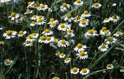 Chamomile for Cold or Flu