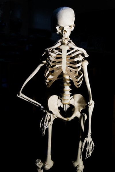 The skeleton is the body's calcium bank, helping to maintain blood levels constant.