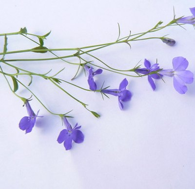 Lobelia is a flowering herb used to treat asthma and bronchitis.