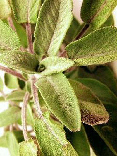 The Uses of Sage Tea