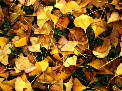 Ginkgo improves symptoms of inattention in ADHD.