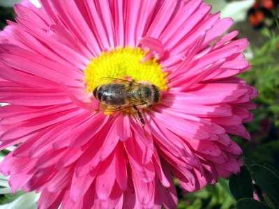 Allergy to Bee Pollen & Allergy to Beeswax