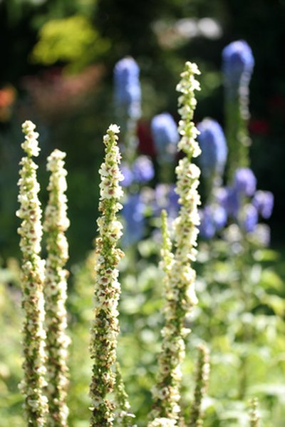 How to Use Mullein Herb