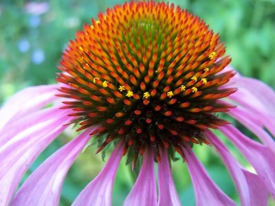 Echinacea is one of the most common herbal antibiotics.