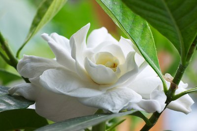 Health Benefits of Gardenia Tea