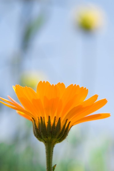 Calendula Oil for Eczema
