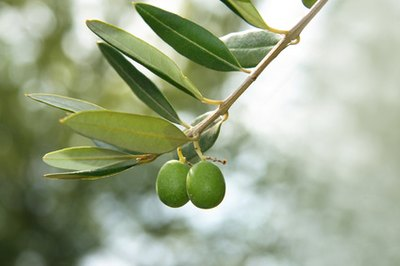 Olive Leaf Oil Benefits