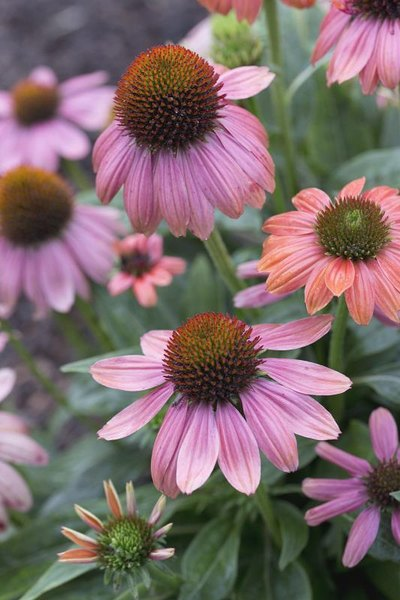 Benefits & Side Effects of Echinacea