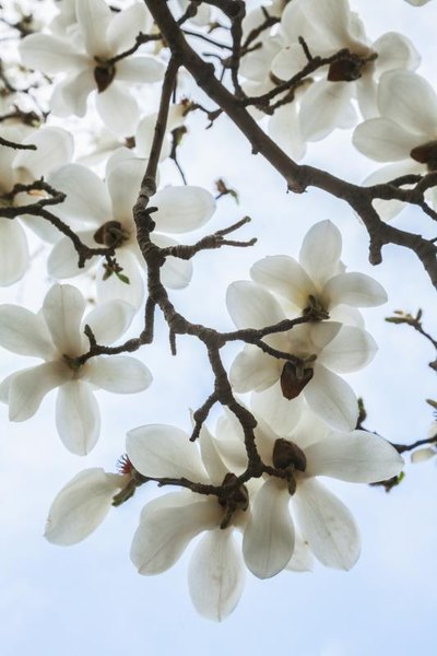 The Side Effects of Magnolia Bark Extract