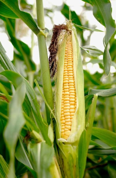 Is Stomach Pain Related to Corn?