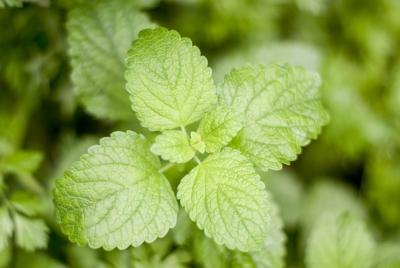 Does Peppermint Help Heartburn?