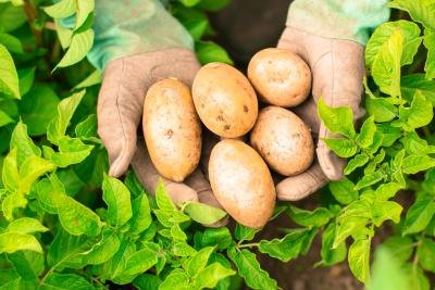 Vitamins & Minerals in Potatoes