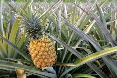 Is Pineapple Good or Bad for Early Pregnancy?