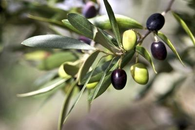 Olive Leaf Extract for Kids
