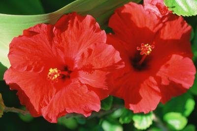 How Much Hibiscus to Lower Blood Pressure?