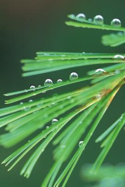 The Health Benefits of Pine Needle Tea