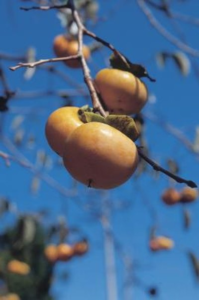 Nutrition in Fuyu Persimmon