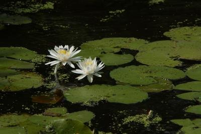 What Are the Health Benefits of the Lotus Flower According to Ayurveda?