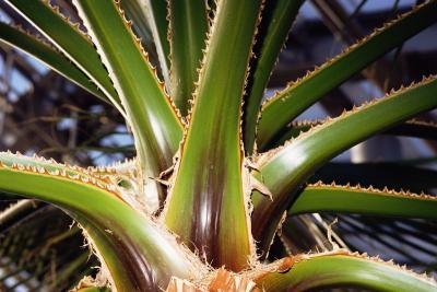 What Are the Benefits of Aloe Vera Oil?