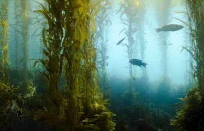 What Are the Health Benefits of Kelp for High Blood Pressure & Cholesterol?