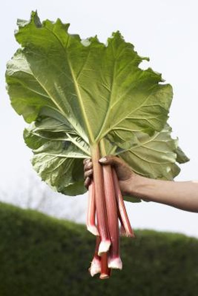 Weight Loss With Rhubarb