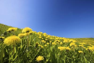 What Are the Benefits of Milk Thistle & Dandelion?
