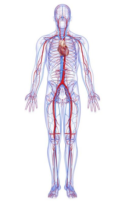 What Are the Largest Blood Vessels in the Body?