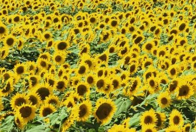 Substitutes for Sunflower Oil