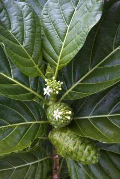 The Side Effects of Noni Capsules