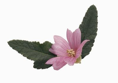 The Health Benefits of Malva Verticillata
