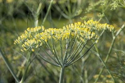 Fennel Seeds & Pregnancy