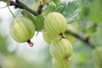 How To Eat Gooseberries