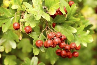 Hawthorn Berry Side Effects