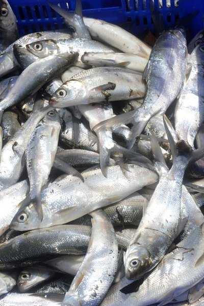 The Milkfish Diet