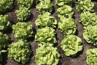 What Green Lettuce Is the Most Nutritious?