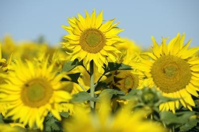 How Many Calories Are In Sunflower Oil?