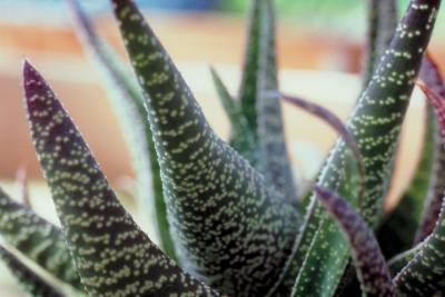 The Benefits of Aloe Vera Tea