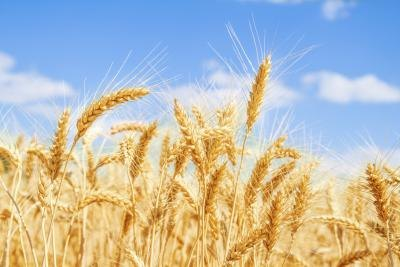 Does Wheat Bran Contain Gluten?
