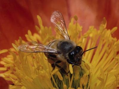 Nutritional Facts for Bee Pollen
