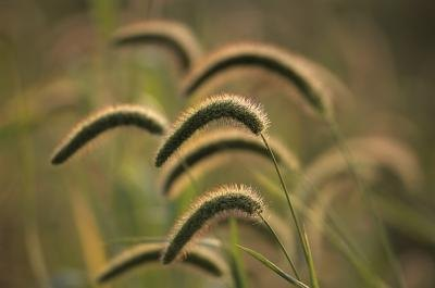 Effects & Side Effects of Barley Grain