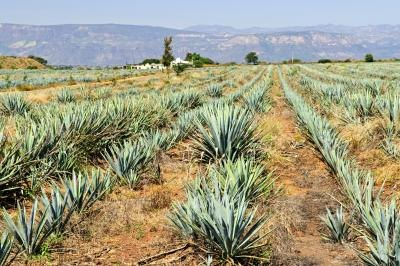 The Definition of Agave Fiber